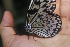 休息的蝴蝶在手中, Coconut Creek, FL 免版税库存照片