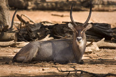 休息的waterbuck 库存图片