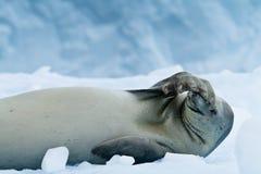 休息食蟹动物的封印,南极洲 免版税库存照片
