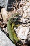 休息Smaragd的蜥蜴在阳光下 免版税图库摄影