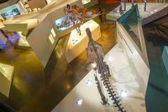 休斯敦,美国- 2017年1月12日:骨头化石insise顶视图自然科学博物馆在休斯敦博物馆 库存照片
