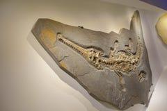 休斯敦,美国- 2017年1月12日:一条鳄鱼的化石恐龙,在博览会在国家博物馆自然 库存图片