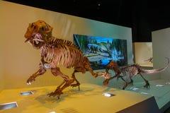 休斯敦,美国- 2017年1月12日:两恐龙化石,再创在博览会的一次depredator和牺牲者攻击  库存照片