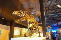 休斯敦,美国- 2017年1月12日:恐龙t雷克斯,那年龄最惊人的恐龙depredator化石,在a 库存照片