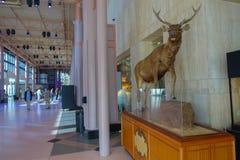 休斯敦,美国- 2017年1月12日:走在大厅里的未认出的人民,有在博览会的一头大鹿的在国民 免版税库存图片