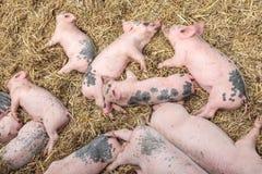 休眠在干草的新出生的猪 免版税图库摄影