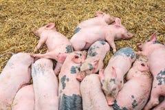 休眠在干草的新出生的猪 图库摄影