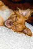 休眠在枕头的狗 免版税库存照片