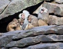 休眠在石墙上的猴子系列 库存照片