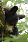 休眠在结构树的一岁黑熊 库存图片