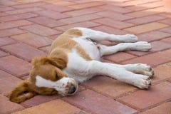 休眠布里坦尼的小狗户外 免版税图库摄影