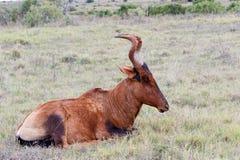 休眠时间红色Harte-beest -狷羚buselaphus caama 免版税库存照片