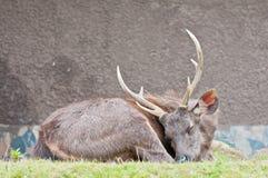 休眠棕色牡鹿 免版税库存照片