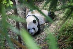 休眠熊猫 免版税库存图片