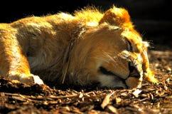休眠狮子 库存图片
