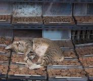 休眠猫 免版税库存图片