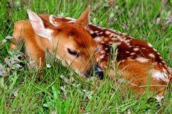 休眠白尾鹿小鹿 库存照片