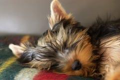 休眠的狗约克夏 库存照片