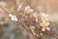 休眠花和叶子在八仙花属paniculata灌木在冬天期间 免版税库存照片