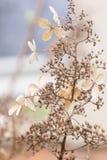 休眠花和种子在八仙花属paniculata灌木在冬天期间 免版税库存照片