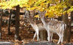 休耕的deers 免版税库存图片