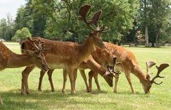 休耕的deers 库存图片