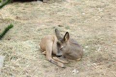 休闲地鹿婴孩睡觉 免版税库存图片