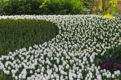 众多公共可访问在绽放的郁金香在荷兰春天Keukenhof庭院里 免版税库存图片