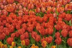 众多的公共可访问的红色郁金香在绽放调遣在荷兰春天Keukenhof庭院里 库存图片