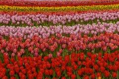 众多的公共可访问的红色,桃红色,黄色郁金香在绽放调遣在荷兰春天Keukenhof庭院里 免版税库存照片
