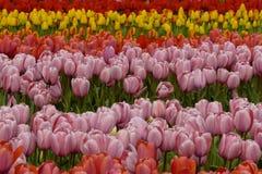 众多的公共可访问的郁金香在绽放在荷兰春天Keukenhof调遣 库存照片