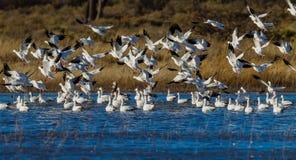 众多的雪雁移居到树丛del亚帕基在新墨西哥 库存照片