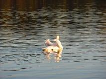 优美的白色天鹅在有他们的翼的湖漂浮 库存图片