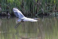 优美的蓝色苍鹭偷偷靠近的牺牲者 库存图片