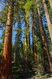 优胜美地国家公园-巨人美国加州红杉森林  库存照片