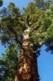 优胜美地国家公园-巨人美国加州红杉 免版税库存照片