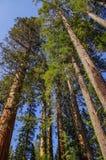 优胜美地国家公园-巨人美国加州红杉 库存图片