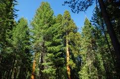 优胜美地国家公园-巨人美国加州红杉 免版税库存图片