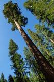 优胜美地国家公园-巨型美国加州红杉 库存照片