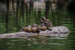 优胜美地` s Mirror湖鸭子家庭休息时间 免版税库存照片
