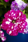 优质喇叭花axillaris britton茄科家庭宏观花的背景 免版税库存图片