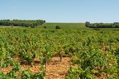 优质法国葡萄酒生产,红葡萄酒成熟葡萄在Chateauneuf de Papes,普罗旺斯,法国种植生长 库存照片