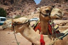 伙计骆驼乔丹 库存图片