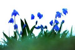 会开蓝色钟形花的草印象 图库摄影