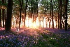 会开蓝色钟形花的草和白色兔子日出 库存照片