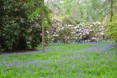 会开蓝色钟形花的草和白色开花的杜鹃花灌木地毯  库存照片