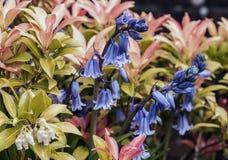 会开蓝色钟形花的草和皮利斯植物 免版税库存照片