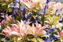 会开蓝色钟形花的草和皮利斯 免版税库存照片