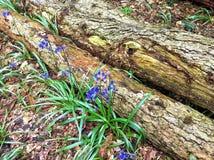 会开蓝色钟形花的草和击倒的木材 库存照片