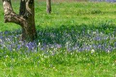 会开蓝色钟形花的草在公园 免版税库存照片